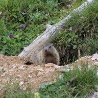 625 Marmotta